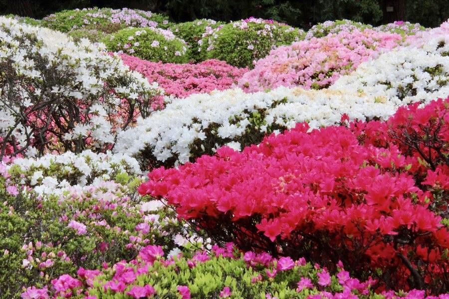लालीगुँरास जस्तै देखिने जापानी फूल चुचुजी र आजालिया महोत्सवबारे एक चर्चा